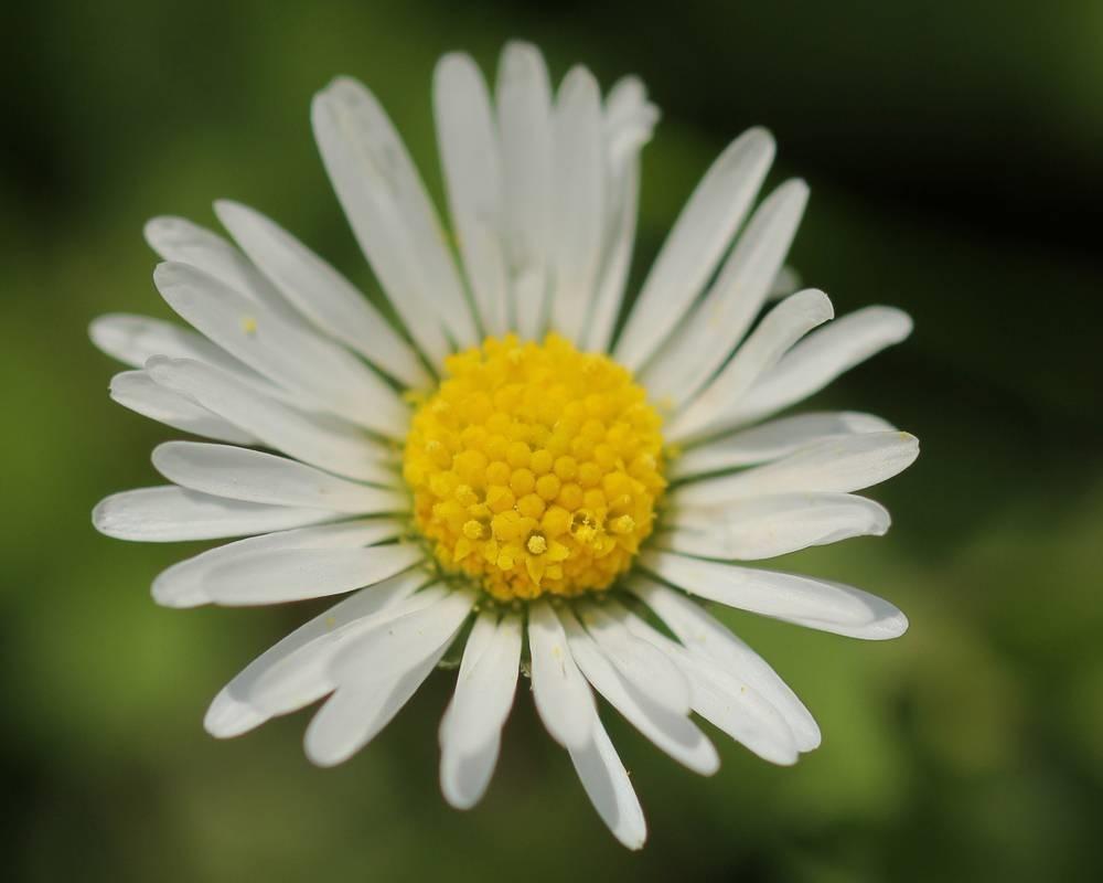 fiori della margherita regalare fiori fiori margherita occasioni e ...