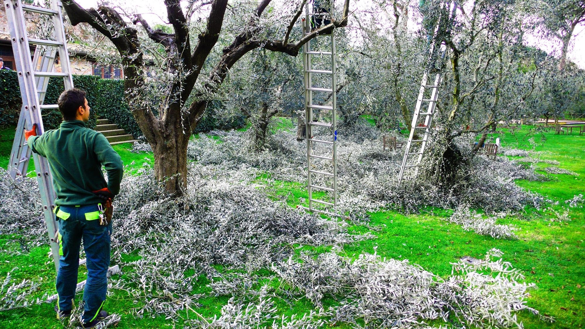 come potare l olivo