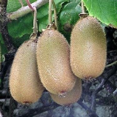 Il Frutto della <em>actinidia</em> chinensis