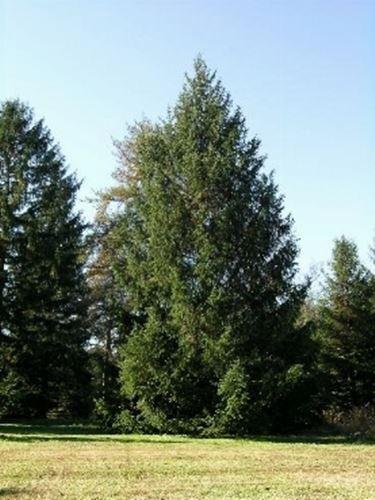 Alberi Conifere