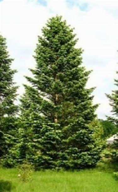Abete del caucaso alberi conifere for Conifere da giardino