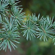 cedro albero