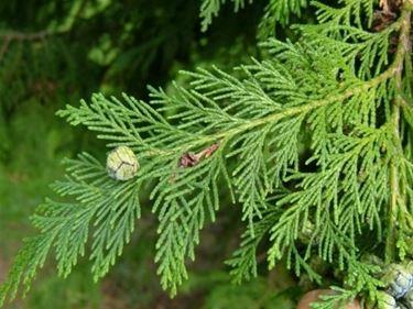 foglie cipresso lawson