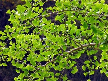 foglie ginkgo
