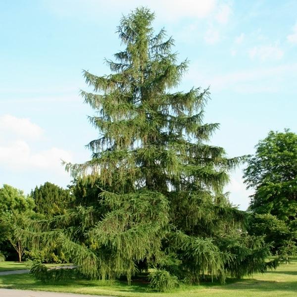 larice alberi conifere