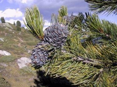 pino cembro 2