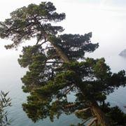 pino di monterey
