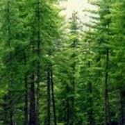 pino di wallich