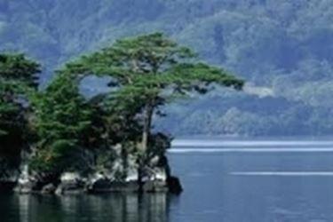 pino loricato2