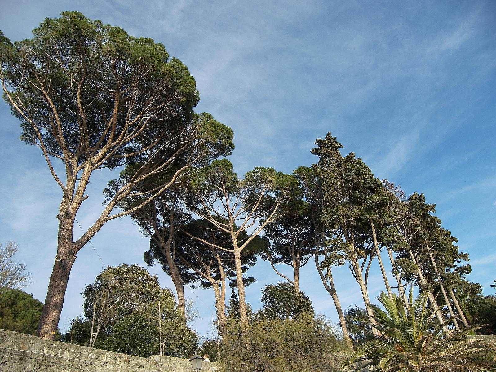 Pino marittimo pinus pinaster alberi caratteristiche pino marittimo - Grandi alberi da giardino ...