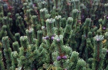 aghi pino mugo pumila