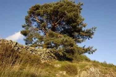 pino silvestre 2