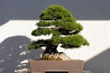 pino silvestre 4