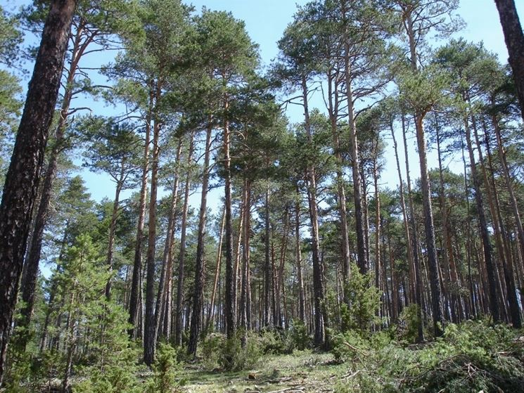 pino silvestre 1