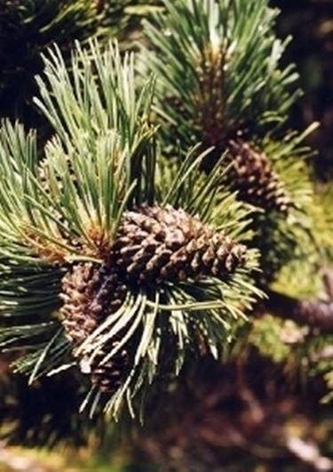 pino uncinato