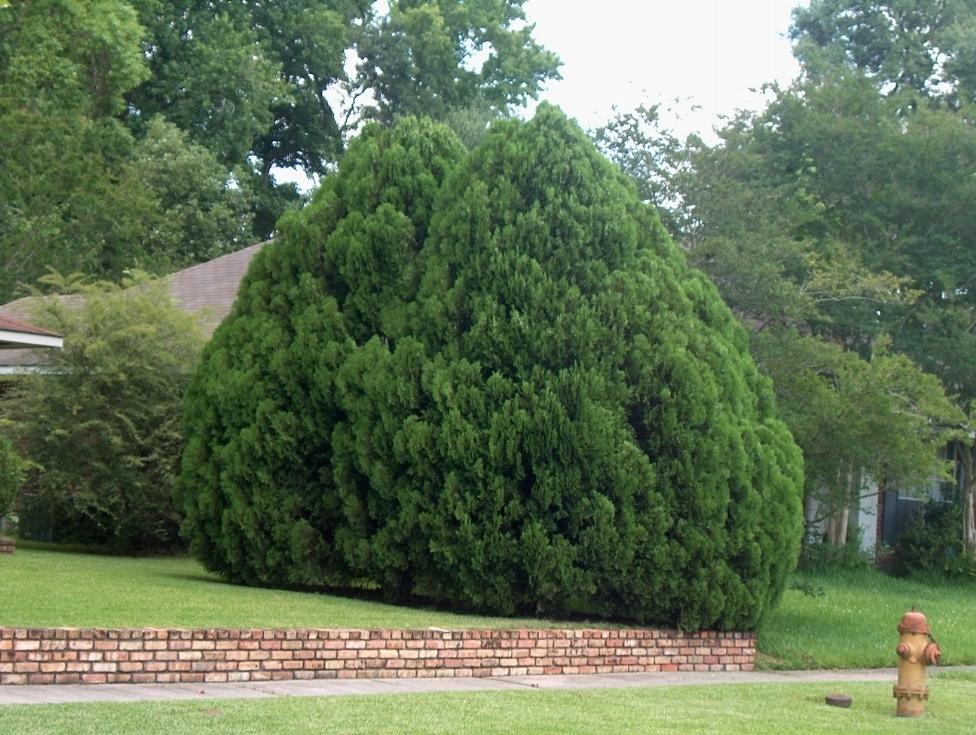 Tuia orientale alberi conifere for Conifere da giardino