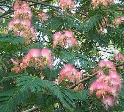 acacia di costantinopoli , immagine del fiore