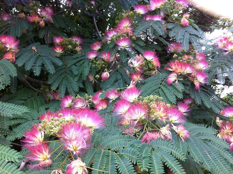 acacia di costantinopoli immagine del fiore