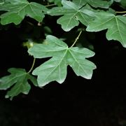 foglie acero campestre