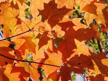 acero da zucchero, immagine delle foglie in autunno