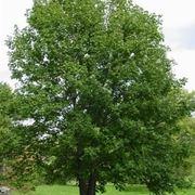 pianta di acero di monte