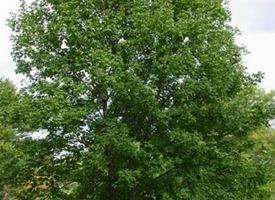 Acero di monte