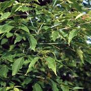 pianta di acero negundo