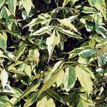 foglie della varietà aureomarginatum