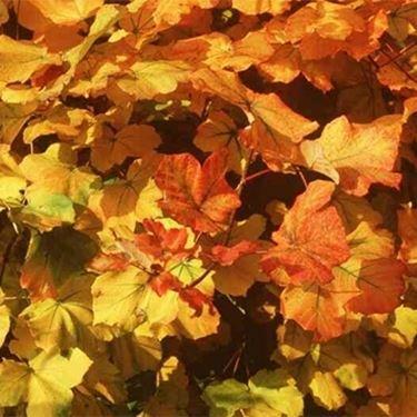 foglie di acero <em>opalo</em> in autunno
