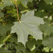foglie di acero riccio in primavera