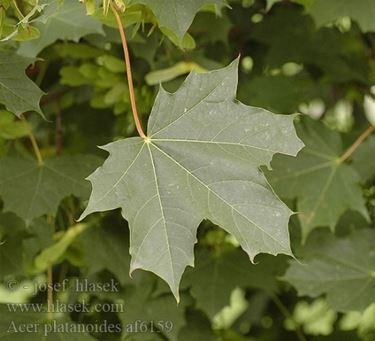 foglie di <em>acero riccio</em> in primavera
