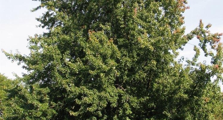 albero di acero saccarino