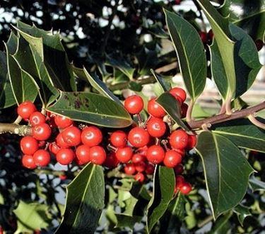 foglie e frutti di agrifoglio