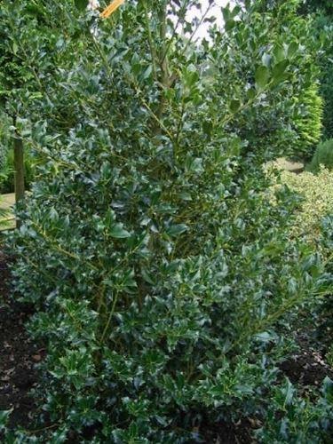 pianta di agrifoglio varietà pyramidalis