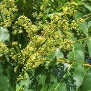 foglie ed infiorescenze di ailanto