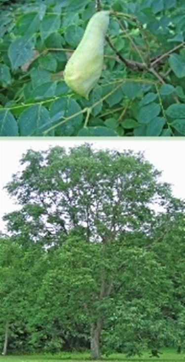albero dei cervi, immagine della pianta