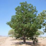 foglie ed infiorescenze di albero dei rosari