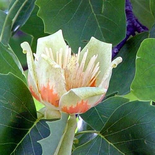 Albero dei tulipani liriodendron tulipifera alberi for Tulipani arancioni