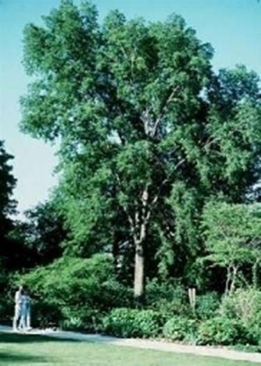pianta di bagolaro