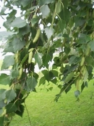 foglie ed infiorescenze di betulla bianca