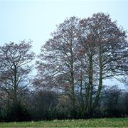 albero simile alla betulla