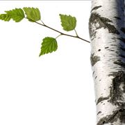 betulla bianca