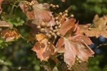 sorbus torminalis frutti e foglie utunnali
