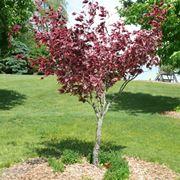 faggio albero