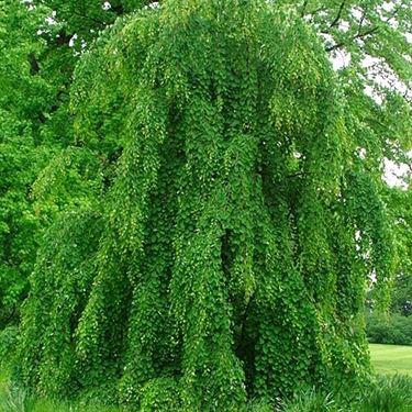 falso albero di giuda, varietà pendula