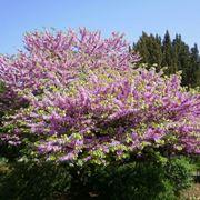 l albero di giuda