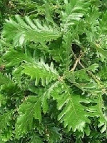 foglie farnetto