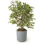 ficus albero