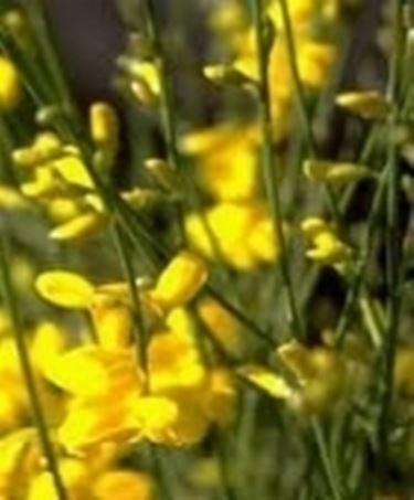 fiori di ginestra dell'etna