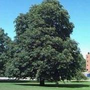 ippocastano albero